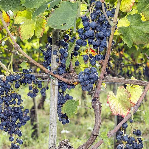 A Pontelatone fine settimana all'insegna del Casavecchia Wine Festival