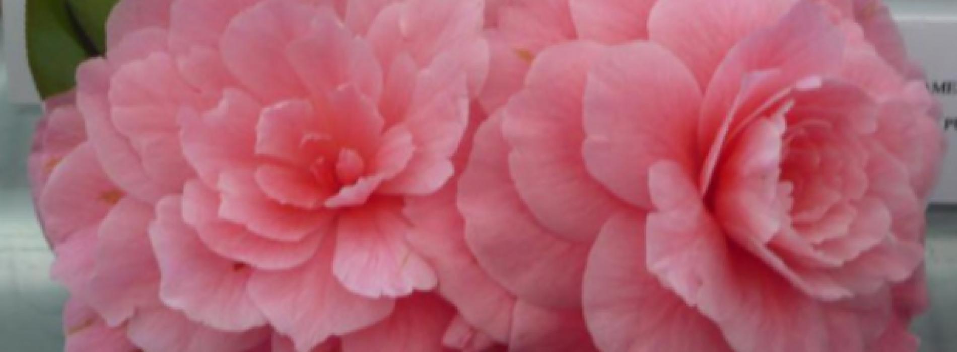 Fine settimana tra i fiori a Caserta. In mostra le camelie