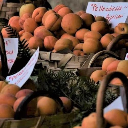 Crisommola al top, l'albicocca del Vesuvio presidio Slow Food