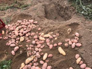 patate 3