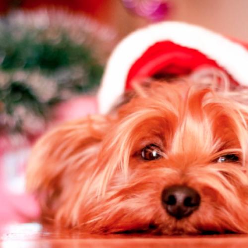 Attenti al cane! Che non scappi a causa dei botti delle feste