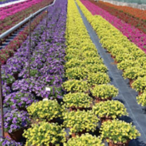 Mercati ingrosso fiori Campania. Il 5 maggio la riapertura