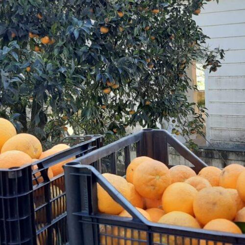 Solidarietà, le arance della Reggia diventeranno ghiottonerie